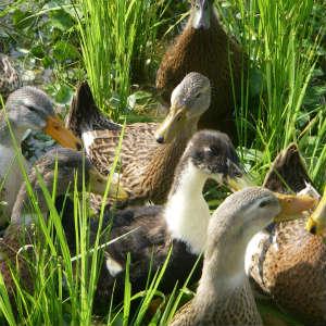 合鴨農法を目撃する