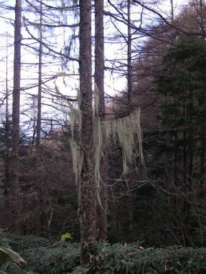 お化けの木