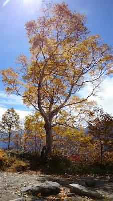 テントサイトの片隅の立派な木