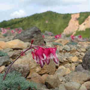 コマクサが咲き乱れる草津白根山